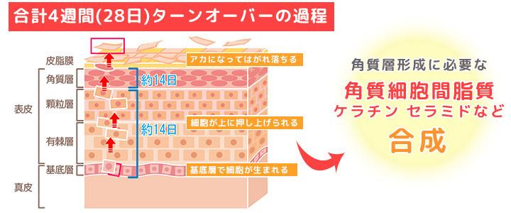 皮膚の生理作用
